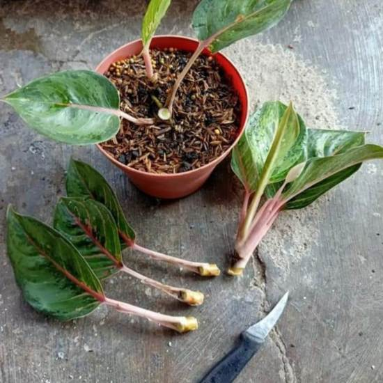Cara memperbanyak tanaman aglaonema dengan cara stek
