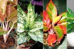 Jenis-jenis tanaman aglaonema